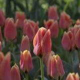 rosa tulpan för park Arkivfoton