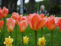 rosa tulpan för park Arkivbild