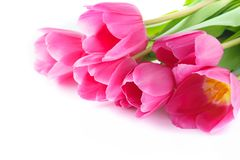Rosa tulpan för valentin eller mors dag isolerat royaltyfri bild