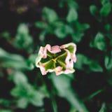 Rosa tulpan från ovannämnt mot grön bakgrund Royaltyfria Bilder