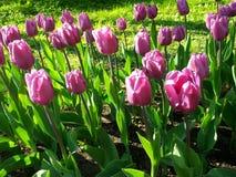 rosa tulpan Härlig bakgrund med tulpan Fotografering för Bildbyråer