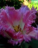 Rosa tulpan i en tunn frans av kronblad arkivbilder