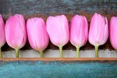Rosa tulpan i rad med målad träbakgrund Fotografering för Bildbyråer