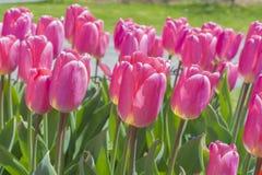 Rosa tulpan i solsken Fotografering för Bildbyråer
