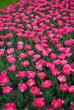 Rosa tulpan i stad parkerar 4 arkivfoton