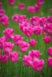 Rosa tulpan i trädgården Arkivfoton