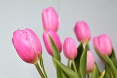 Rosa tulpan med grå bakgrund Royaltyfri Foto