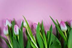 Rosa tulpan på rosa bakgrund, easter bakgrund Royaltyfria Foton
