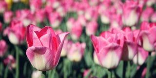 Rosa tulpan på blomsterrabatten åldrigt foto Makro Arkivfoto