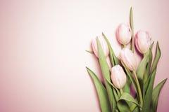 Rosa tulpan på den rosa bakgrunden Lekmanna- lägenhet, bästa sikt valenti Arkivbilder
