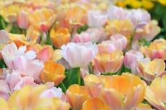 Rosa tulpan på träbakgrunden pink tulpan Tulpan Blomma Fotografering för Bildbyråer