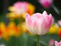 Rosa tulpan som växer i trädgård Arkivfoto