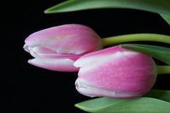Rosa tulpan, svart bakgrund Royaltyfria Bilder