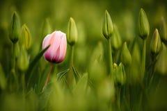 Rosa tulpanblom, rött härligt tulpanfält i vårtid med solljus, blom- bakgrund, trädgårds- plats, Holland, Nederländerna Royaltyfri Foto