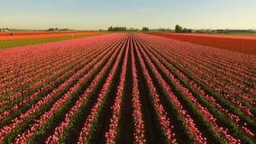 Rosa tulpankrökning in mot blom- jordbrukblommor för solljus arkivfilmer