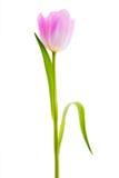 Rosa tulpanpatiens - som isoleras på vit royaltyfria foton