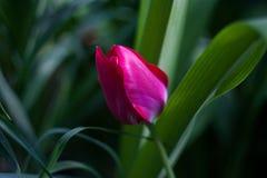 Rosa tulpanvårfält för berömdesign Grön bakgrund bakgrund blommar naturen white för blommaskogfjäder Grön blom- backgroun fotografering för bildbyråer