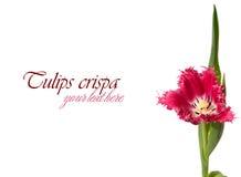 Rosa Tulpe Stockfoto