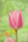 Rosa Tulpe Bonbon-Dame stockfoto