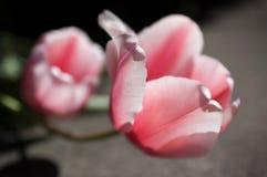 Rosa Tulpe in der Blüte am sonnigen Tag Nahaufnahmeweichzeichnungsmakro von i Stockbilder
