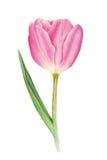 Rosa Tulpe des Aquarells auf weißem Hintergrund lizenzfreie abbildung
