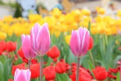 Rosa Tulpe im roten und gelben Tulpenhintergrund Lizenzfreie Stockfotos