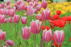 Rosa Tulpe mit grünem Urlaub im Garten Lizenzfreies Stockfoto
