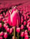 Rosa Tulpe stehen heraus auf dem Gebiet Lizenzfreie Stockfotografie