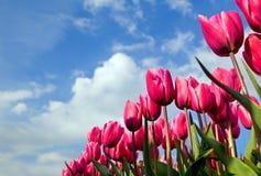Rosa Tulpen über blauem Himmel Stockfotografie