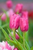 Rosa Tulpen stockfotos