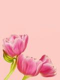 Rosa Tulpen Stockfoto