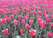 Rosa Tulpen auf dem Blumenbeet Weg auf dem Vorstadtwald Stockfotos