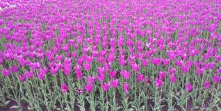 Rosa Tulpen auf dem Blumenbeet Weg auf dem Vorstadtwald Lizenzfreies Stockfoto
