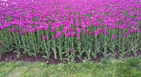 Rosa Tulpen auf dem Blumenbeet Weg auf dem Vorstadtwald Lizenzfreie Stockfotografie