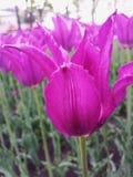 Rosa Tulpen auf dem Blumenbeet Weg auf dem Vorstadtwald Lizenzfreie Stockfotos