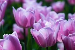 Rosa Tulpen auf natürlichem Blumenhintergrund lizenzfreie stockbilder