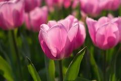 Rosa Tulpen auf natürlichem Blumenhintergrund lizenzfreie stockfotografie