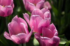 Rosa Tulpen auf natürlichem Blumenhintergrund stockfotografie