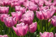 Rosa Tulpen auf natürlichem Blumenhintergrund stockfoto