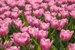 Rosa Tulpen auf natürlichem Blumenhintergrund stockfotos