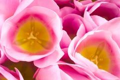 Rosa Tulpen auf thebright buntem Hintergrund Flache Lage, Draufsicht Kann als Postkarte verwendet werden Horizontal, kopieren Sie Stockbild