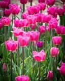 Rosa Tulpen bei Holland Tulip Festival Stockbilder