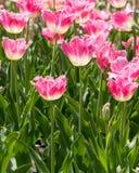 Rosa Tulpen bei Holland Tulip Festival Stockfotos