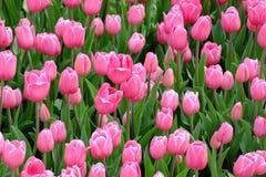Rosa Tulpen der Garten Lizenzfreies Stockbild