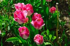 Rosa Tulpen, die im Garten wachsen stockfotografie