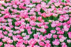 Rosa Tulpen in einem Garten stockfoto
