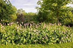 Rosa Tulpen in einer Hecke rudern in der Landschaft stockbilder