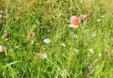 Rosa Tulpen in einer Hecke rudern in der Landschaft stockfoto