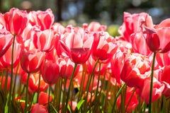 Rosa Tulpen genauer Stockfotos