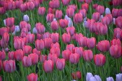 Rosa Tulpen im Garten Lizenzfreie Stockfotos